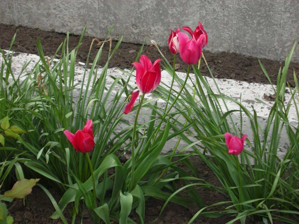 Что можно сажать на клумбах после тюльпанов? - ответы экспертов 67