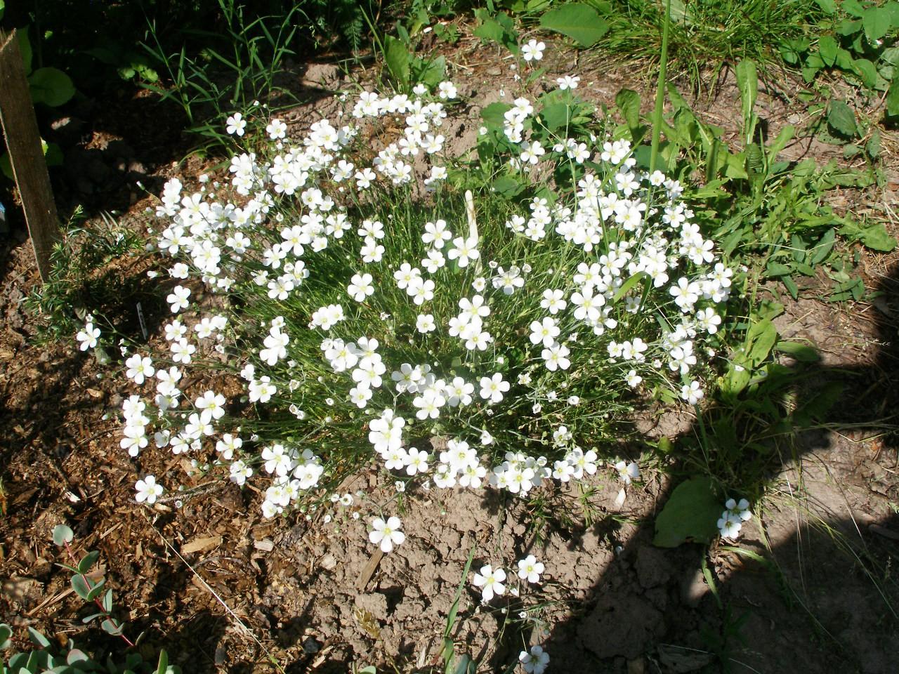 Мшанка шиловидная выращивание из семян в открытом грунте 87