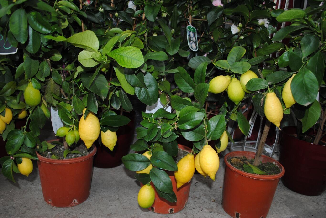 Выращиваниё лимонов 56