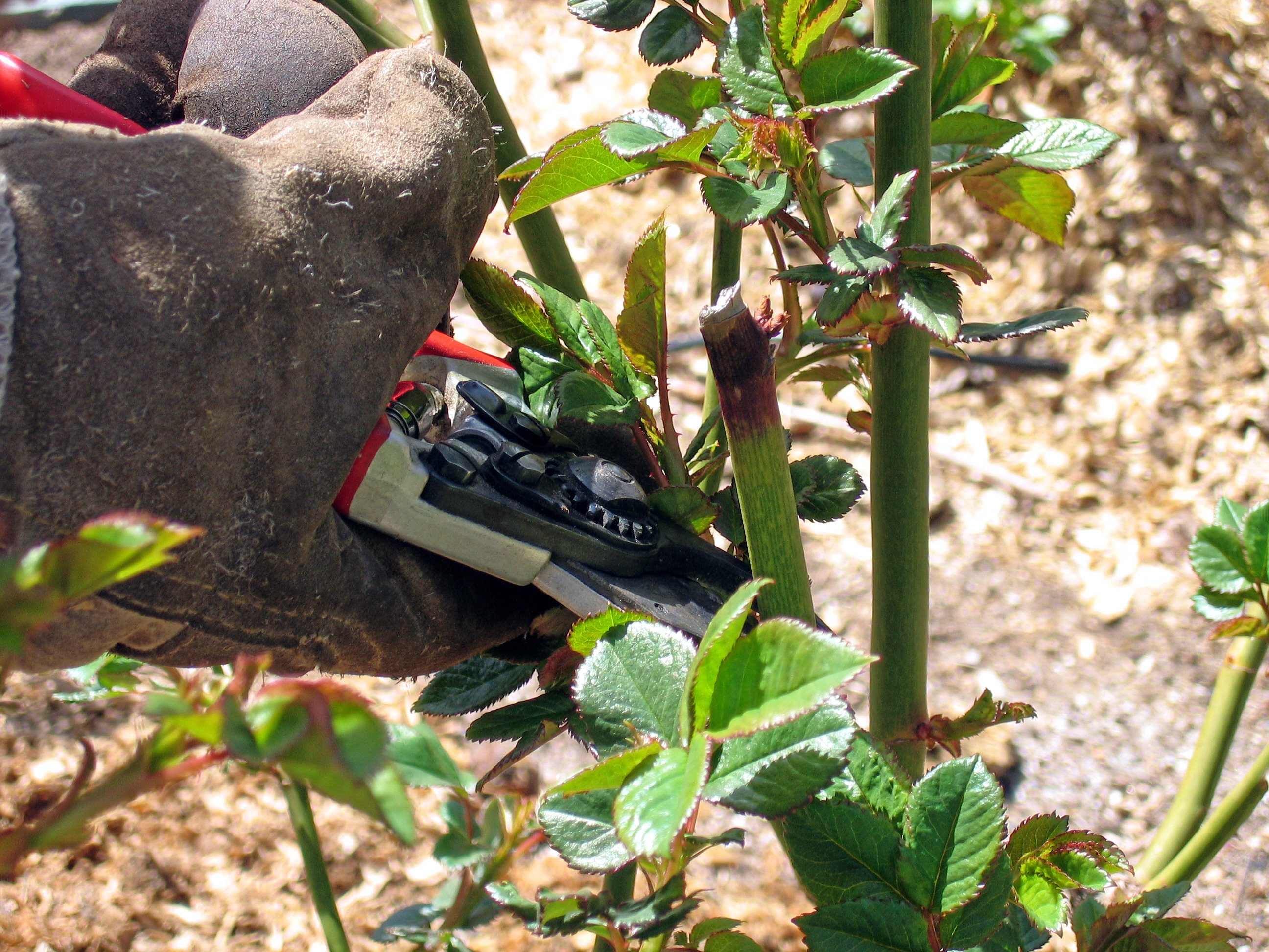 1404388840_gloves-and-shear-for-pruning-roses