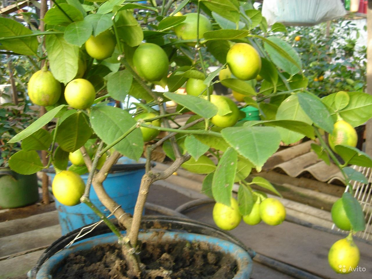Лимон юбилейный уход в домашних условиях фото