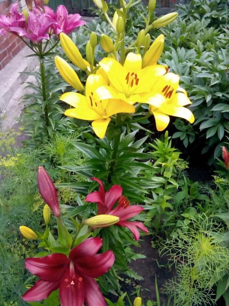 Садовые лилии посадка уход