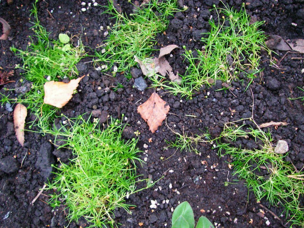 Мшанка шиловидная выращивание и уход 91