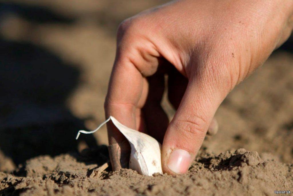 Какой чеснок сажать под зиму крупный или мелкий 674