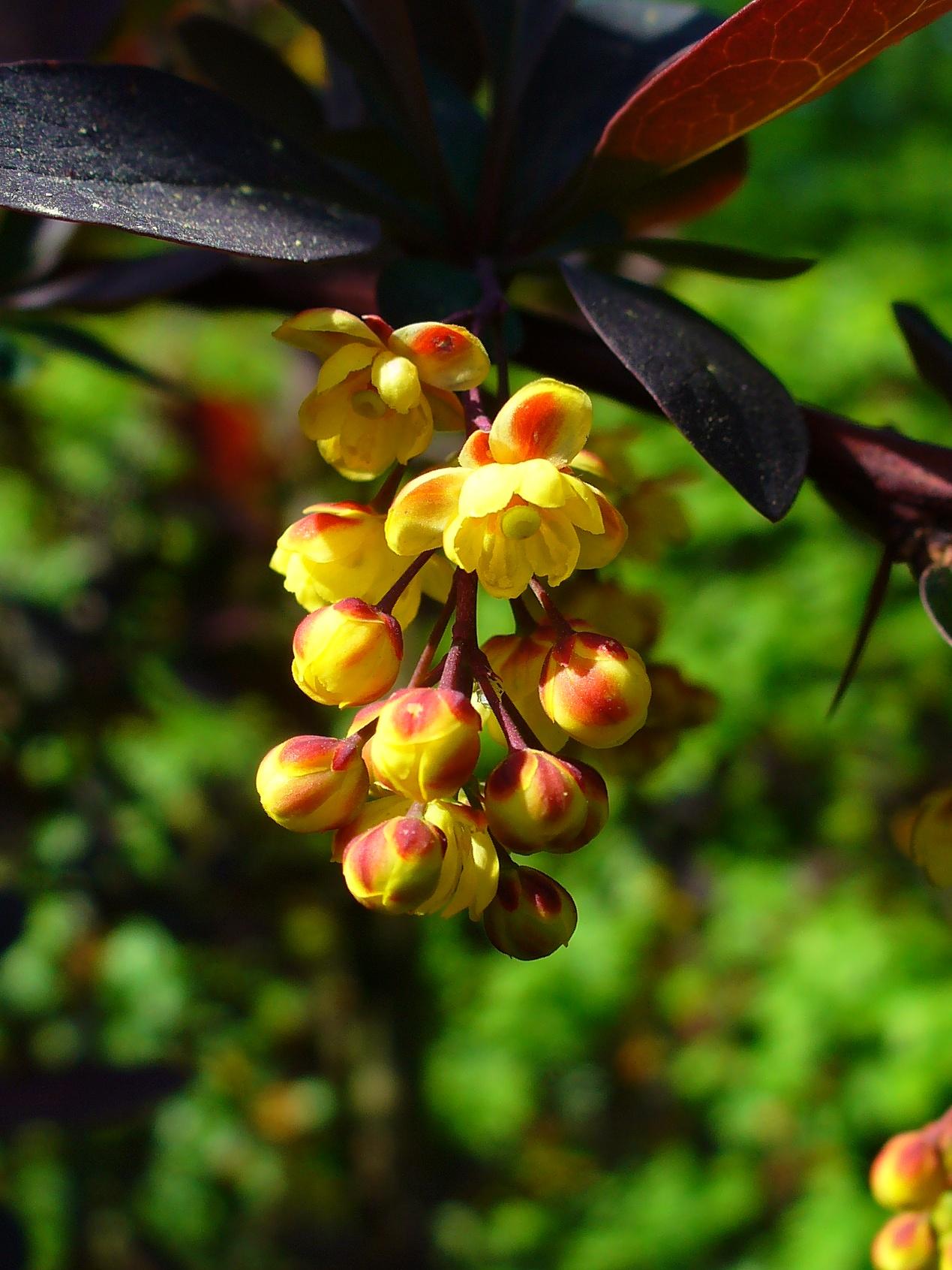 berberis_vulgaris_atropurpurea_002