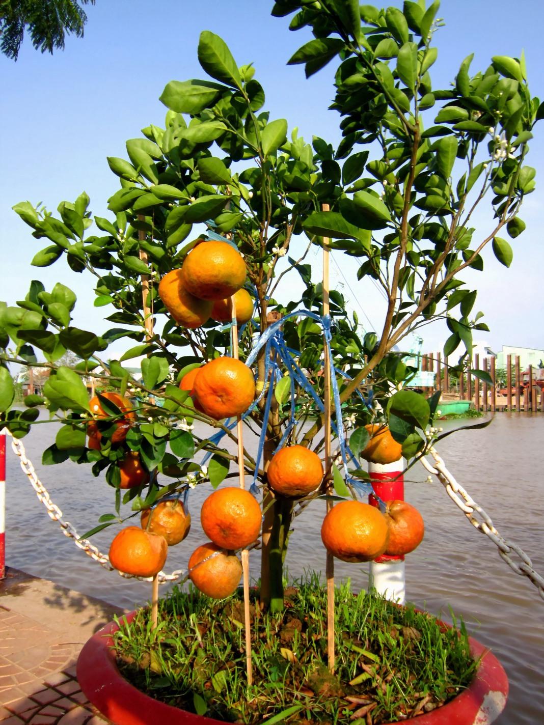 citrus-reticulata-3