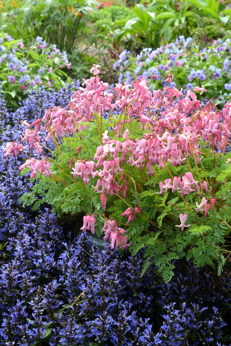 dicentra_amore_pink_1b