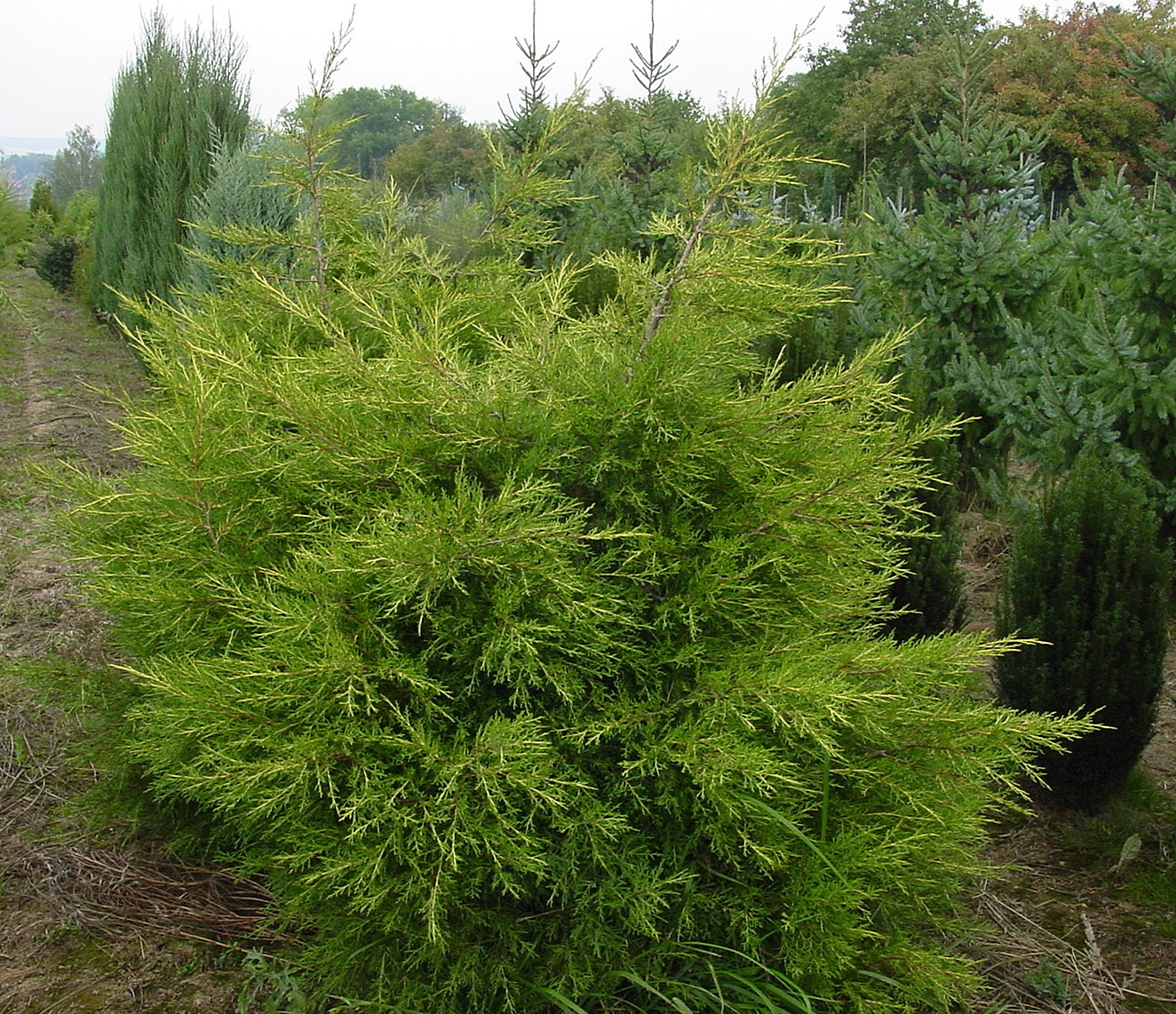 juniperus_chinensis_kuriwao_gold_1