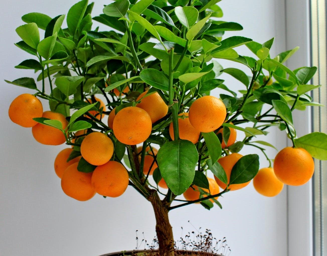 mandarin-oranzhevaya-radost-4