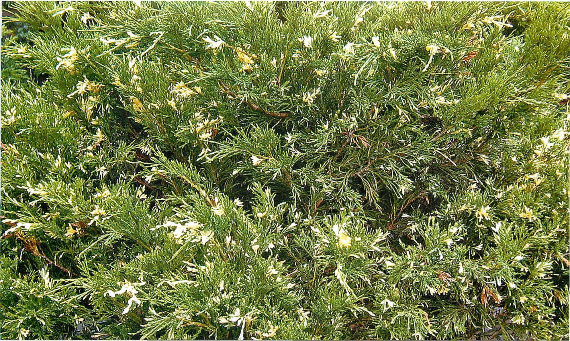 mozhzhevelnik-kazatskiy-variegata1