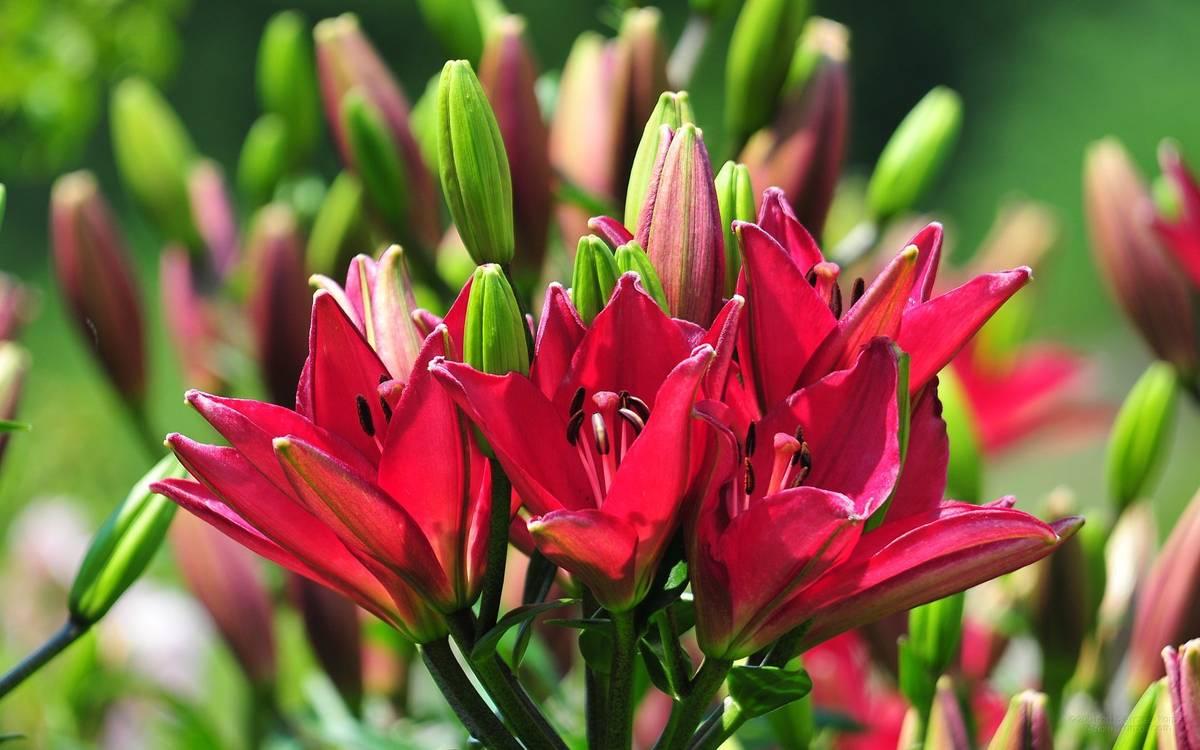 Лилии: посадка и уход, фото примеры от опытных садоводов
