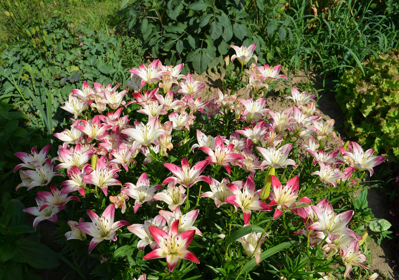 Цветы лилия фото
