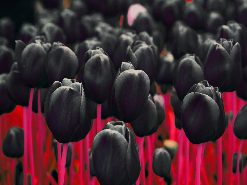 black_tulip_01
