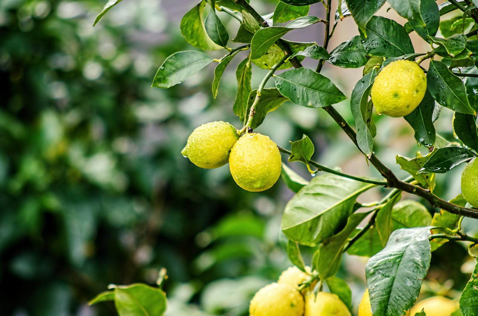 derevo-limona1
