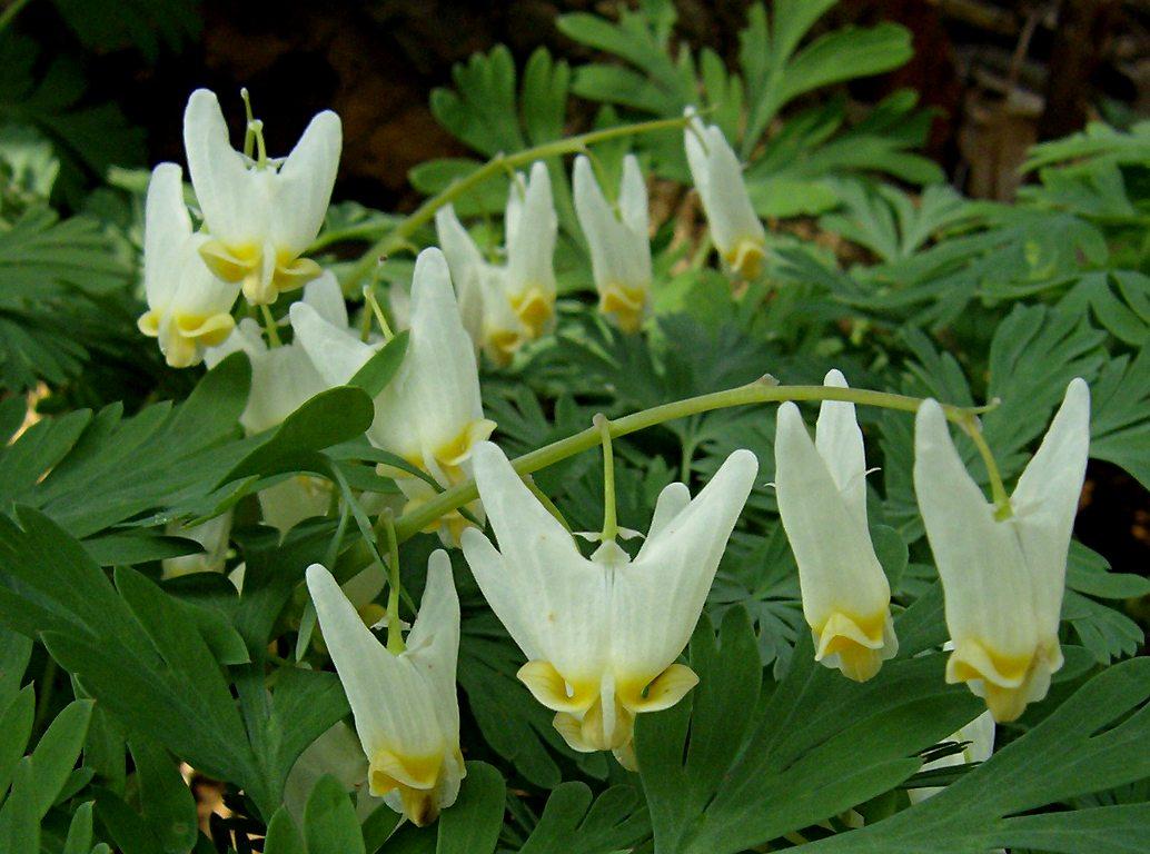 dicentra-cucullaria-2012-03-25-bird-park-02