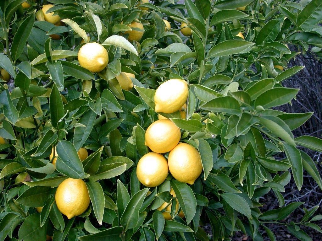 domashnij-limon