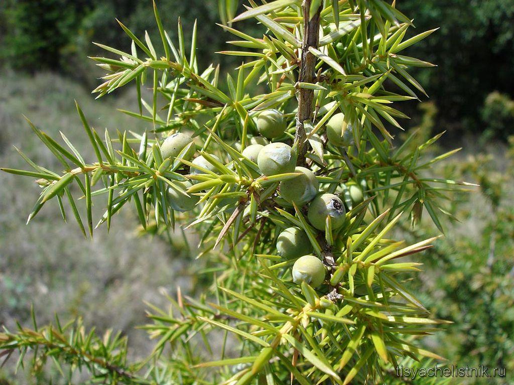 juniperus-communis-mozhzhevelnik-obyknovennyj