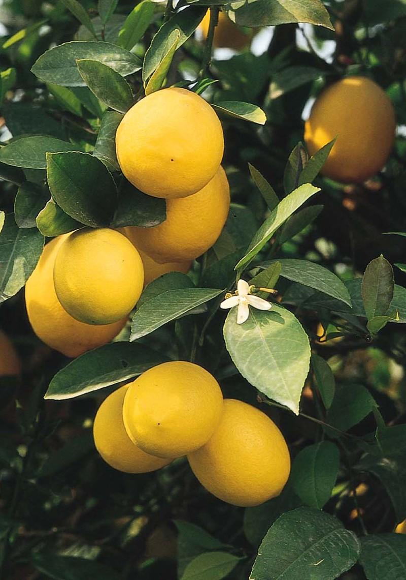 limon-mejera-e1461671263495