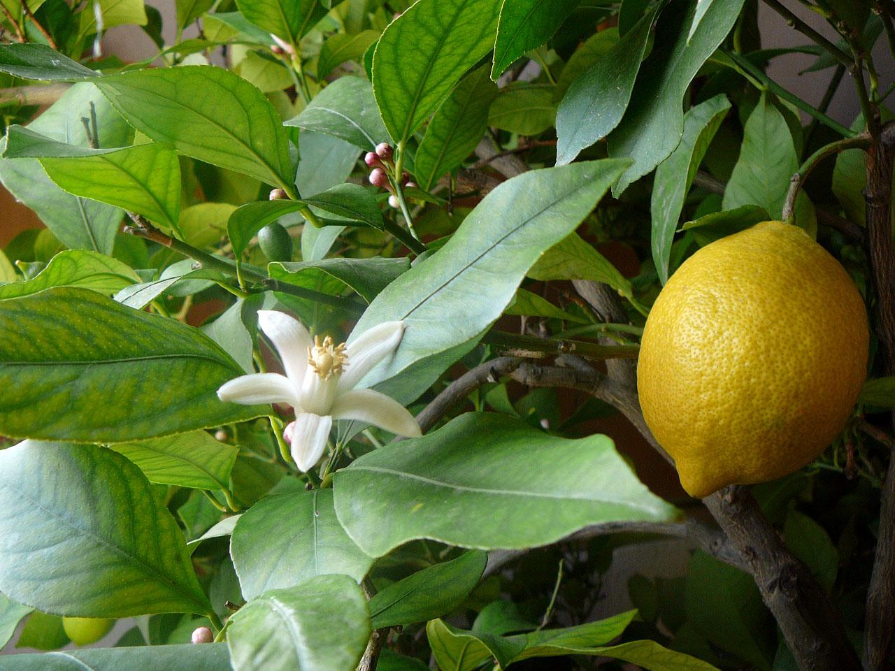 limon-cvetushhij