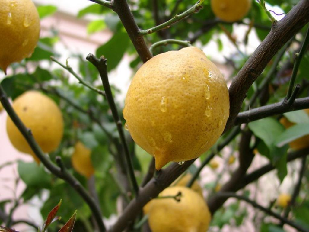 limonnoe-derevo-foto