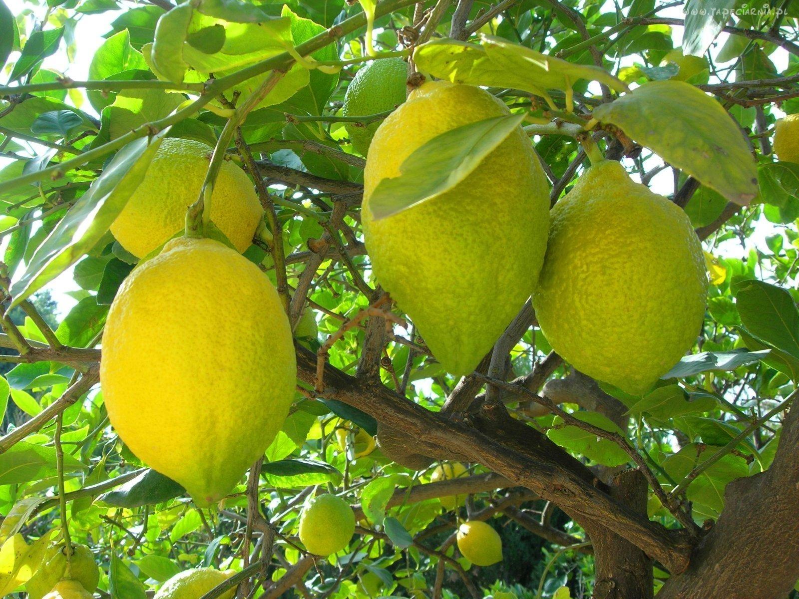 limonnoe-derevo-v2-orig