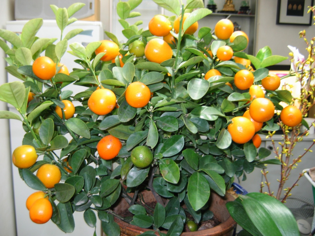 mandarin-tree-01