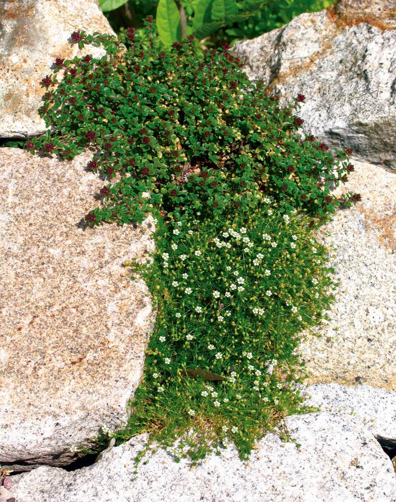 Мшанка шиловидная выращивание из семян в открытом грунте 83
