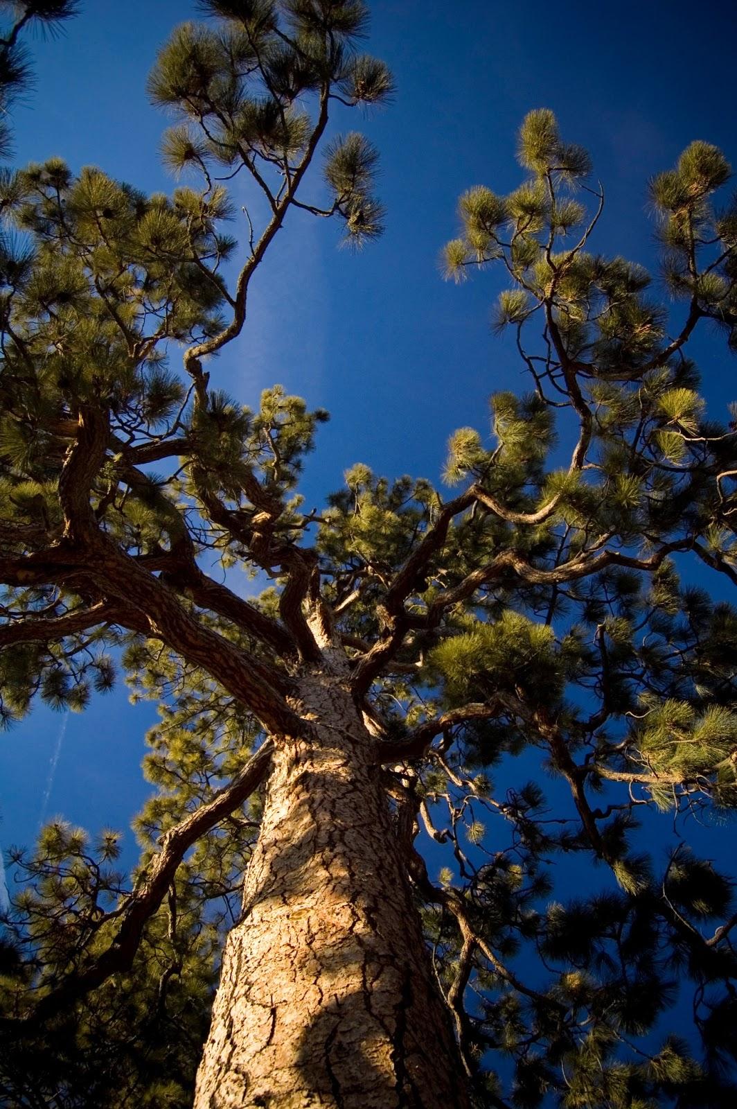 pine_2