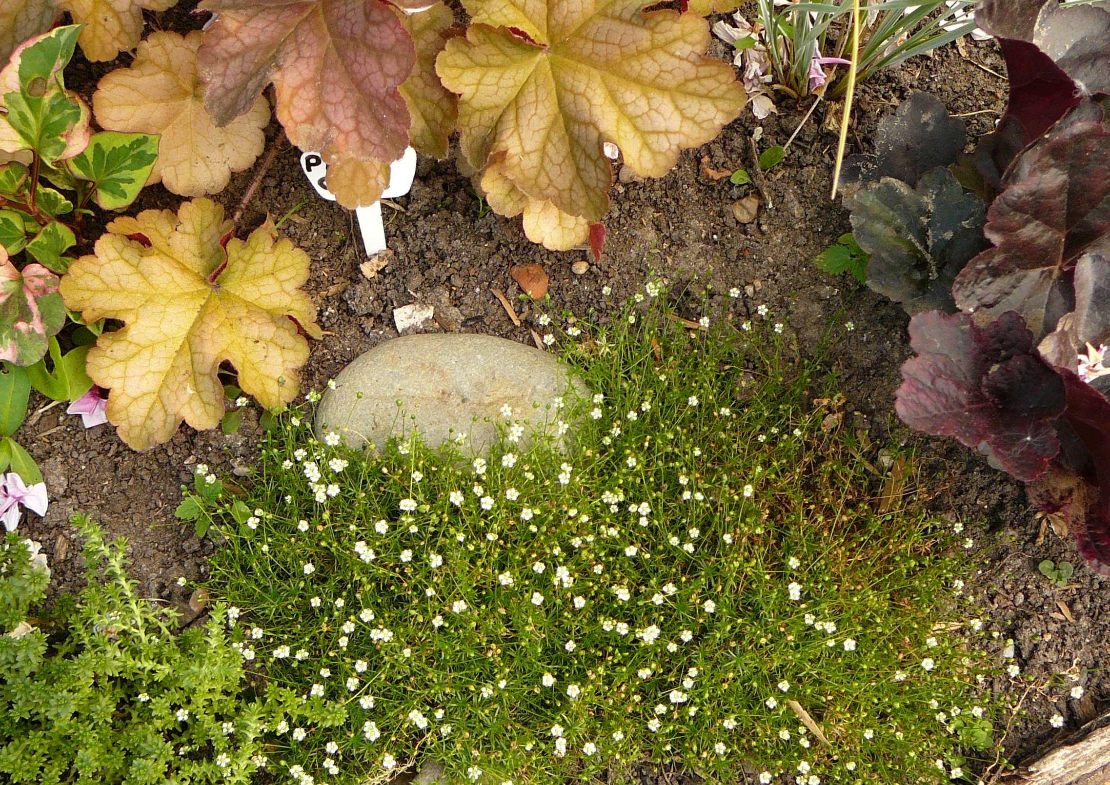 Мшанка шиловидная выращивание из семян в открытом грунте 42