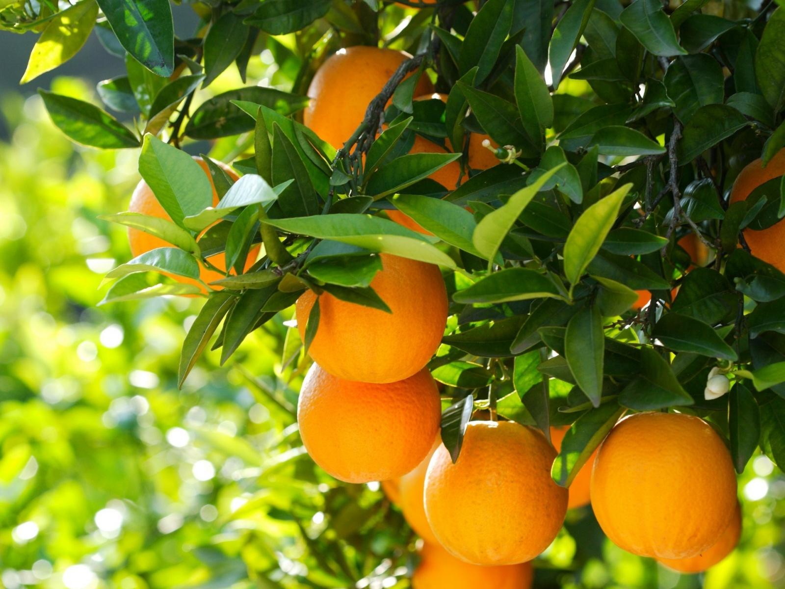 priroda-apelsiny-derevo
