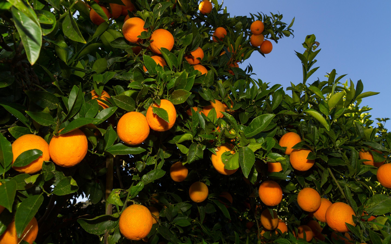 priroda-sad-apelsinovye-468