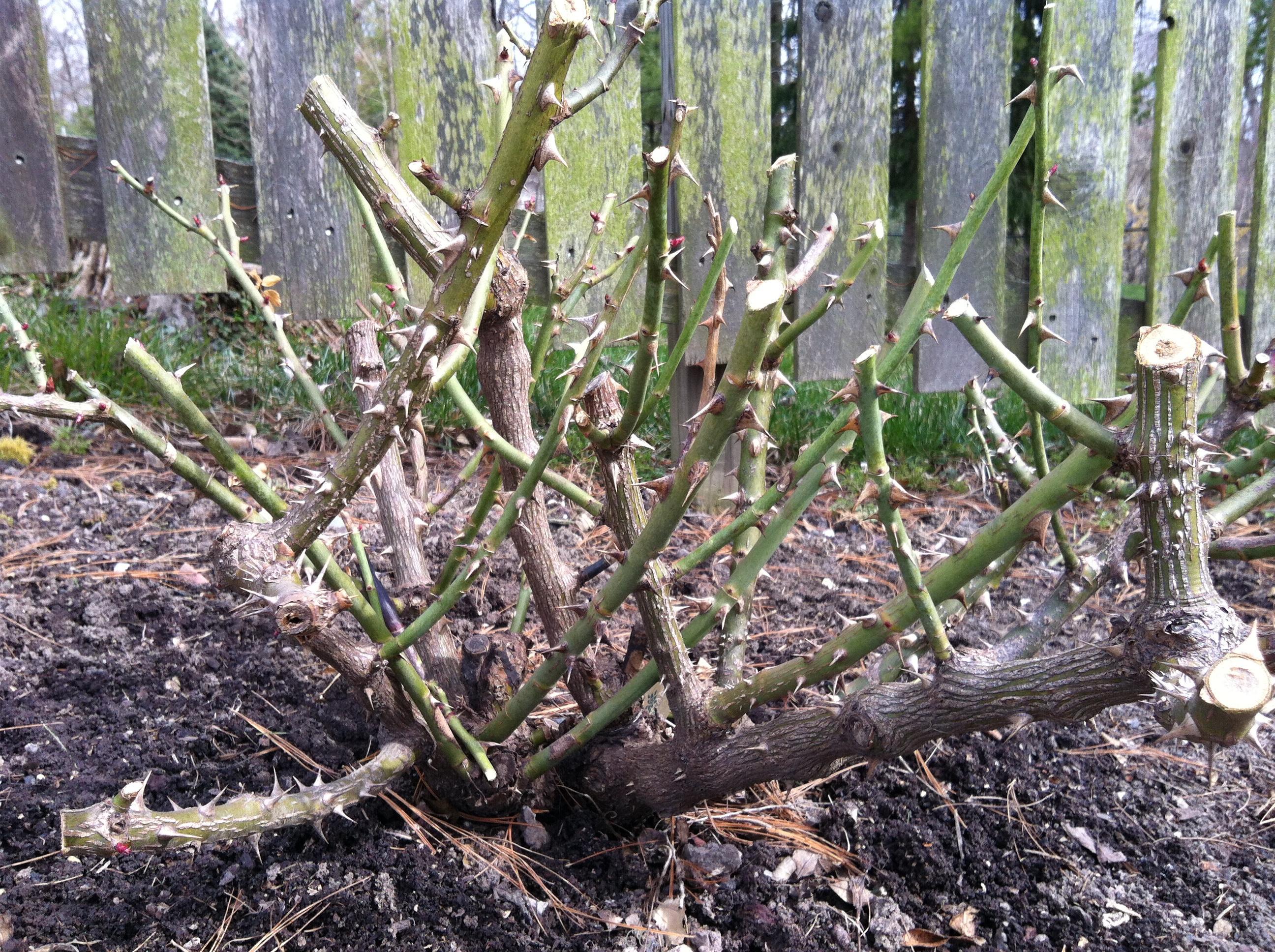 pruning-drift-rose