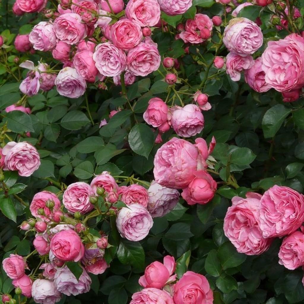 rose-3-1024x1024