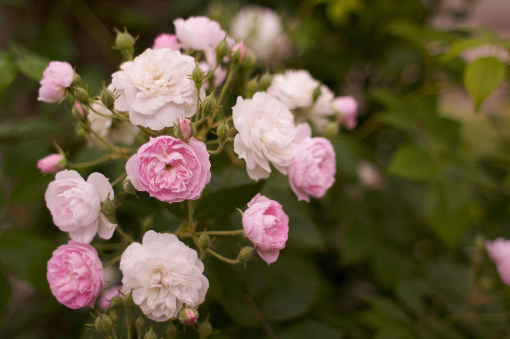 rose-bush