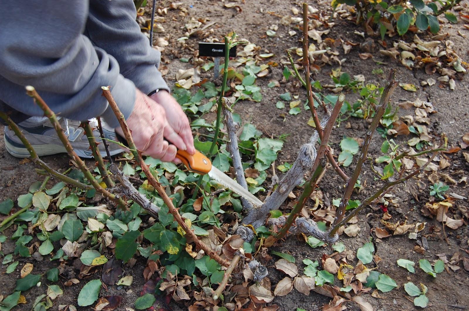 Какие сорта роз лучше всего сажать на наших дачах 78