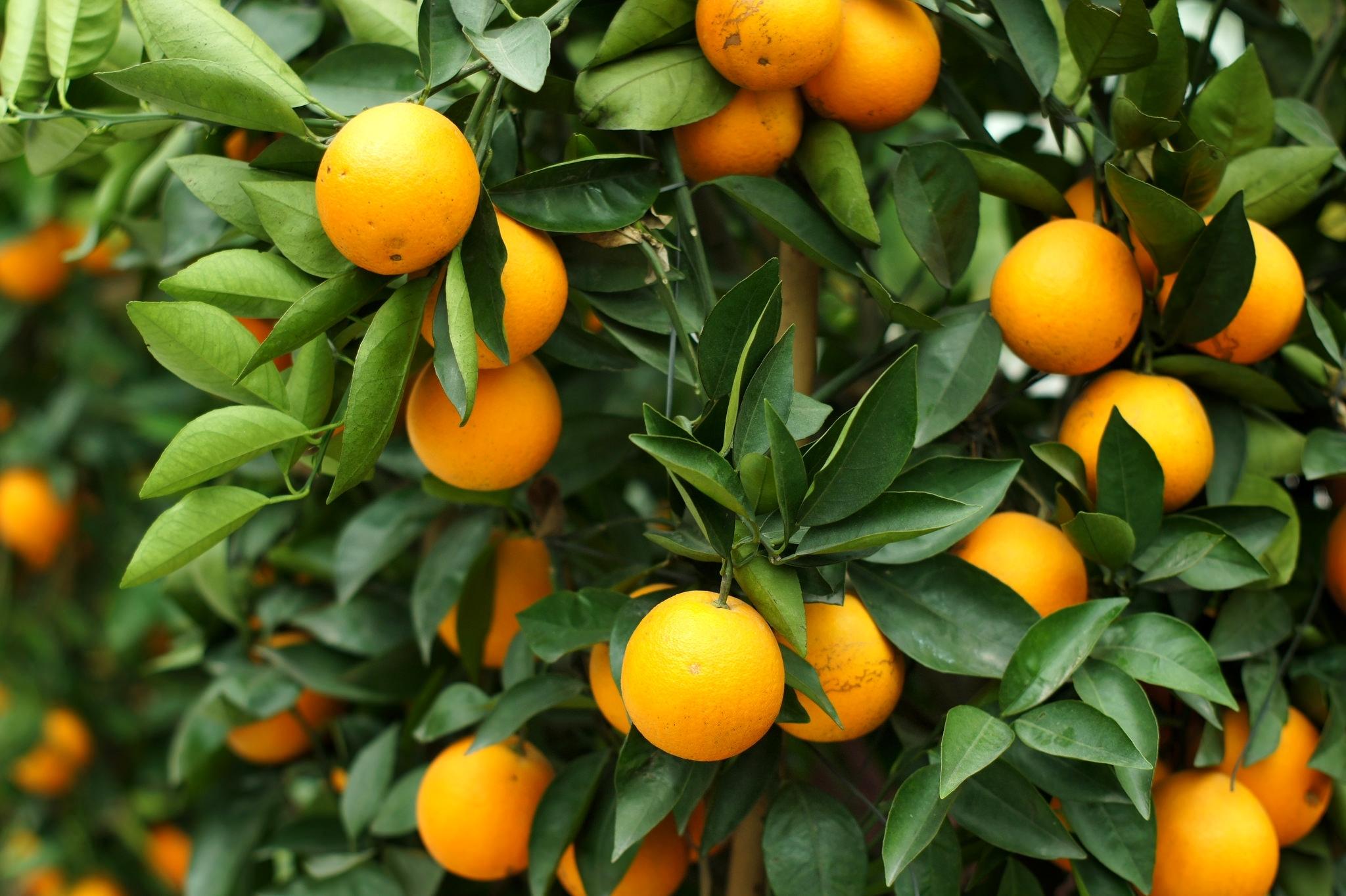 spelye-apelsiny-visyat-na-vetkax