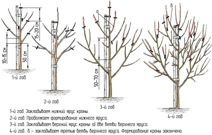 Обрезка кроны в декоративном садоводстве