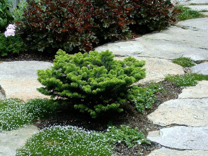 тенелюбивые хвойные для сада