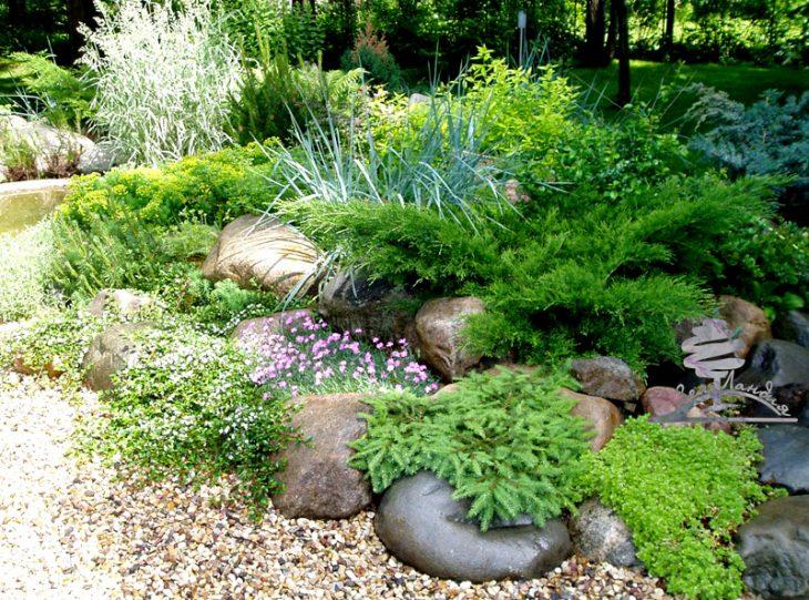 низкорослые хвойные для сада