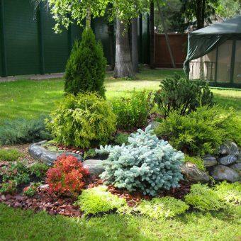 декоративные хвойные для сада