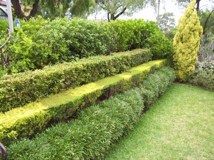 забор живая изгородь