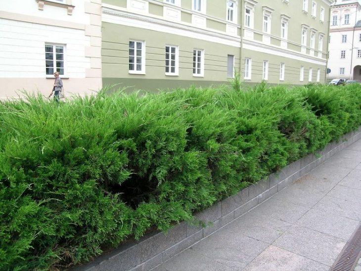 кусты для живой изгороди