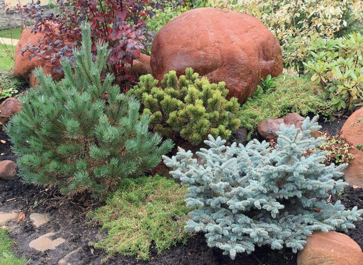 хвойные растения для сада фото и названия