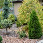 карликовые хвойные для сада
