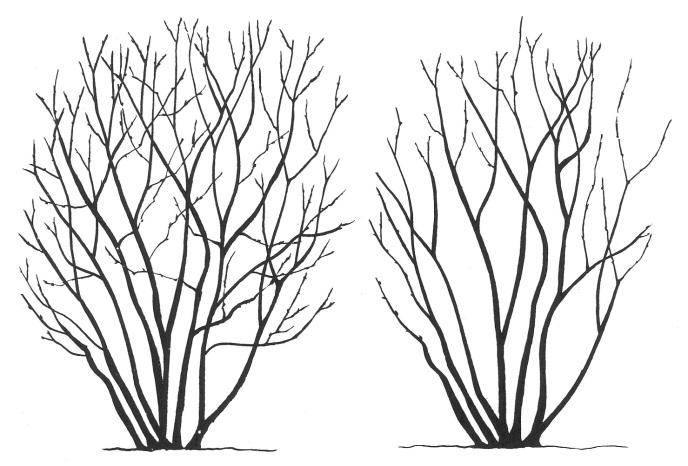формирование и обрезка кустов