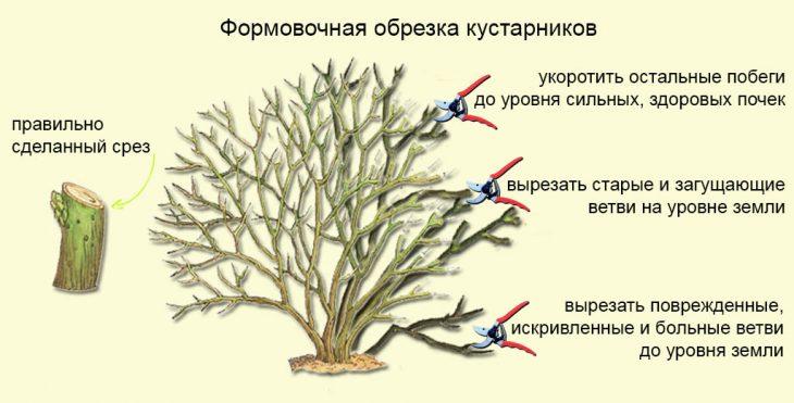 формовочная обрезка кустарников