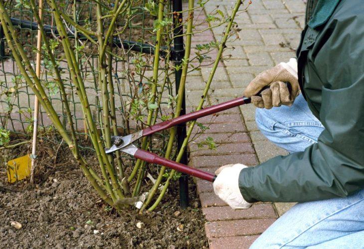 правила обрезки кустарников