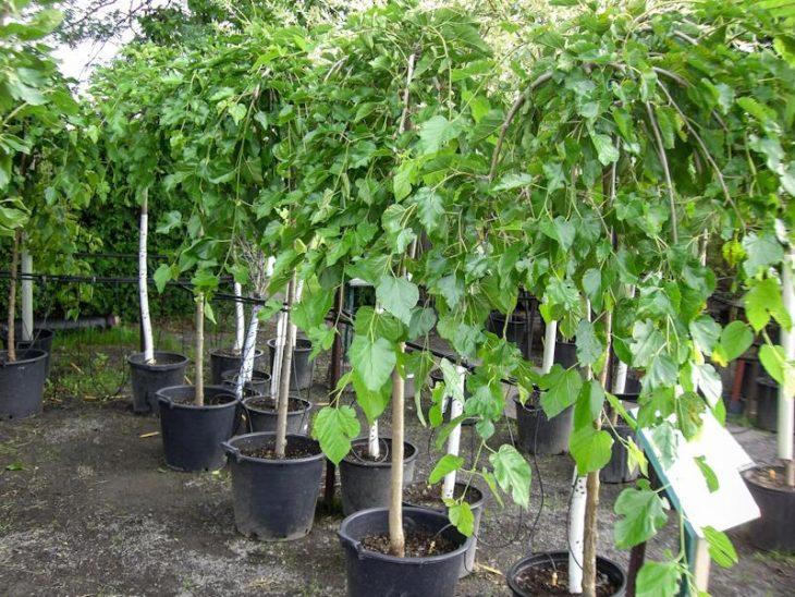 шелковица белая выращивание и уход