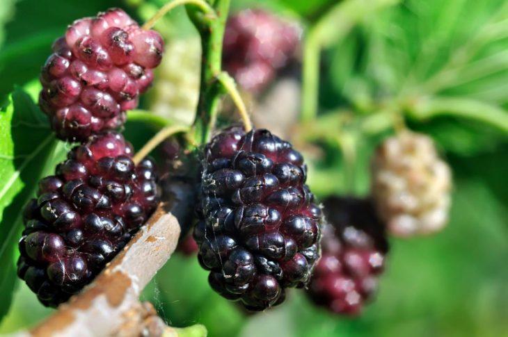 шелковица черная выращивание и уход