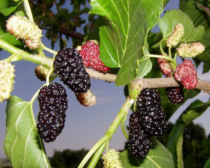 шелковица черная описание сорта